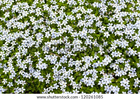 ground covering stock images, royaltyfree images  vectors, Natural flower