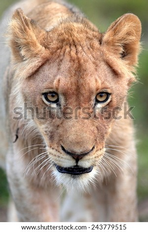 An abstract selective focus image of a lion cub. - stock photo