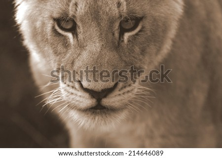An abstract selective focus image of a lion cub in sepia tone. - stock photo
