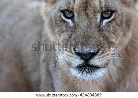 An abstract selective focus image of a lion cub in South Africa.