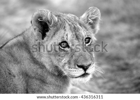 An abstract selective focus image of a lion cub in South Africa. - stock photo