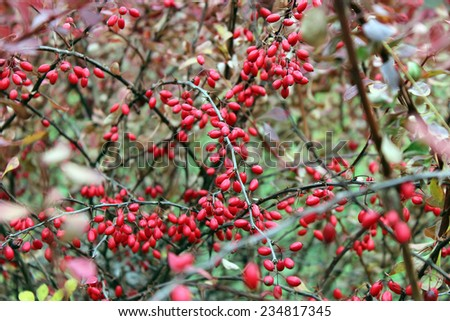 An abundance of red berries of barberry - stock photo