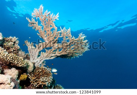 An acropora staghorn coral growing near the surface on a coral reef - stock photo