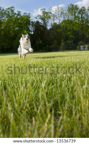 An active and athletic Australian Shepherd  leaps as she retrieves a ball. - stock photo