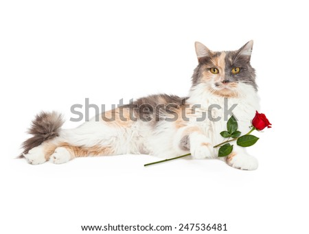 An active Calico Domestic Longhair Cat raises its paw in front of its body.  - stock photo