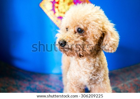 An adorable and cute poodle - stock photo