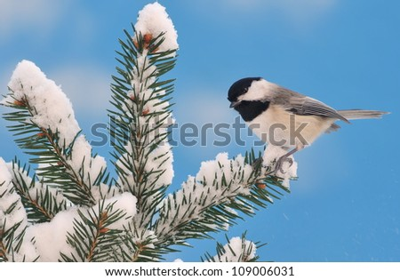 An adorable Black- capped Chickadee (Poecile atricapillus) on a snowy spruce branch with blue sky in the background. - stock photo