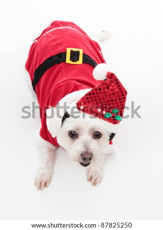 An adorable Christmas pooch wearing a red santa suit.  White Background. - stock photo