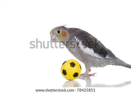 An adorable cockatiel plays with a small soccer ball. - stock photo