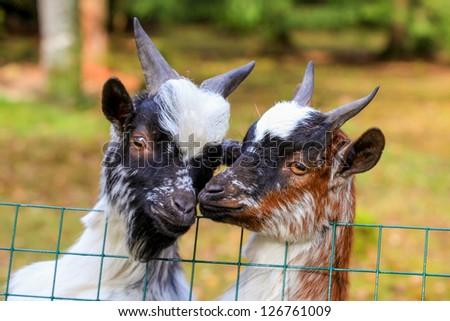 An adorable Dwarf goats poses at a farm gate. - stock photo
