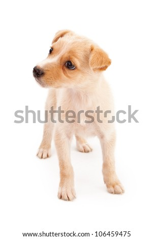 An adorable eight week old cream color puppy isolated on white and looking to the side - stock photo