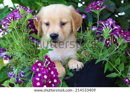An adorable Golden Retriever puppy sits in a decorative basket with some colorful flowers - stock photo