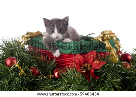 An adorable gray kitten in a red and green basket surrounded by Christmas decorations.  Isolated on white.