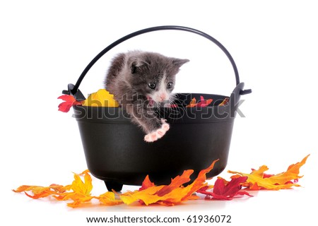 An adorable gray kitty howling from inside a leaf-filled cauldron, stretching one paw toward colorful leaves that had fallen on the ground.  Isolated on white. - stock photo