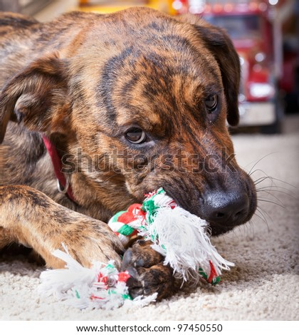 An adorable hound chewing on his rope toy - stock photo