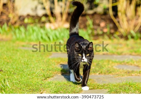 An adorable house cat walking towards you with its tail up in the air. Large white whiskers contrast against the dark brown, almost black animal. - stock photo