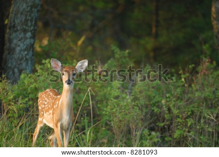 An adorable image of a young fawn just walking out of the forest. - stock photo