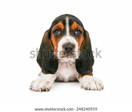 An adorable little Basset Hound breed puppy dog sitting and looking straight forward - stock photo