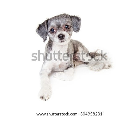 An adorable little grey color Havanese mixed breed dog laying down and looking into the camera - stock photo