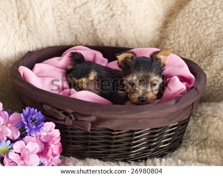 An adorable little six week old Yorkie Puppy in a basket with copy space - stock photo