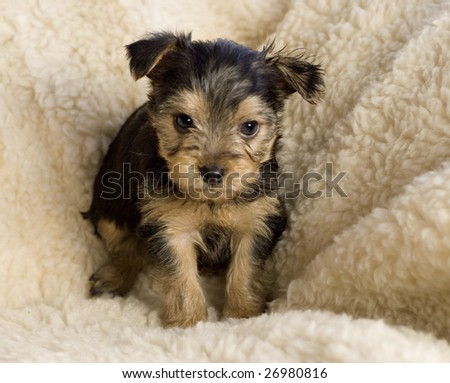 An adorable little six week old Yorkshire Terrier Puppy sitting, isolated with copy space - stock photo