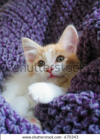 an adorable maine coon kitten nestled within a purple blanket