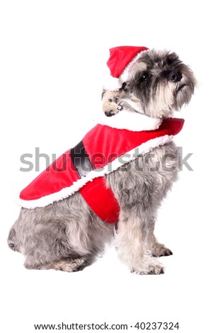 An adorable Miniature Schnauzer wearing a Santa Claus outfit on a white background.