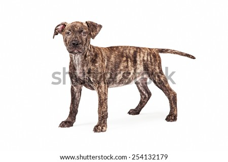 An adorable mixed breed brindle coated dog standing up and looking at the camera.  - stock photo
