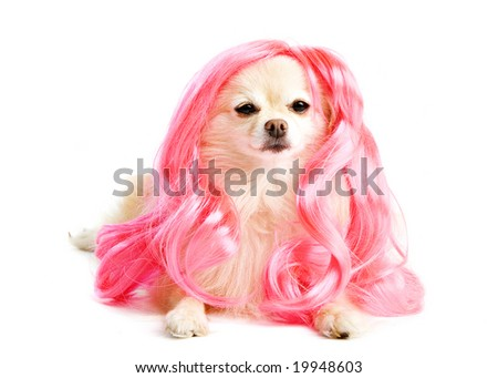 An adorable Pomeranian puppy in a long, pink wig. - stock photo