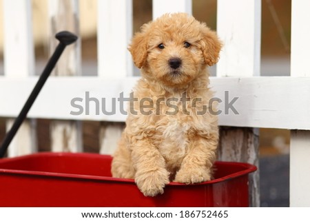 An adorable Poodle mix puppy sits in a red wagon in front of a white fence. - stock photo