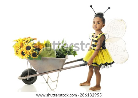 An adorable preschool girl in a Bumble Bee outfit pushing a wheelbarrow full of sunflowers while looking up for others.  On a white background. - stock photo