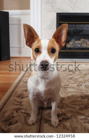 An adorable Rat Terrier sitting on a rug welcoming you to his home. - stock photo