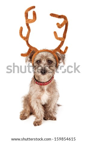 An adorable scruffy terrier crossbreed puppy sitting and wearing tall reindeer ears and a red collar - stock photo