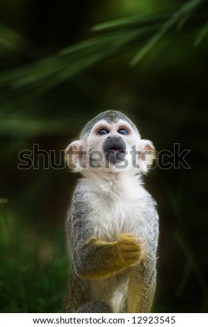 An adorable squirrel monkey stares at an object off-camera. - stock photo