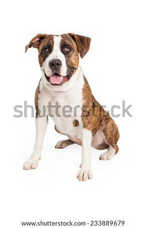an adorable Staffordshire Bull Terrier Mix Breed Dog sitting while looking forward.  - stock photo