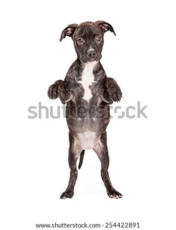 An adorable Staffordshire Bull Terrier Mixed Breed 4 month old puppy standing on hind legs with paws bent in front of body.  - stock photo