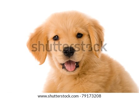 an adorable 8 week old Golden Retriever puppy with a happy expression n his face. - stock photo