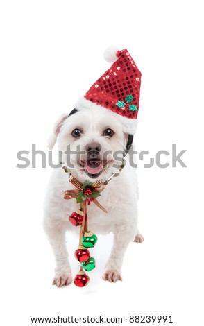 An adorable white maltese dog standing with pretty red and green jingle bells tied to decorative festive ribbon decoration.  White background.