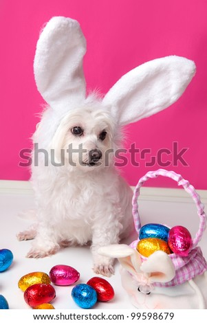 An adorable white puppy dog sits among easter eggs.  Pink background. - stock photo