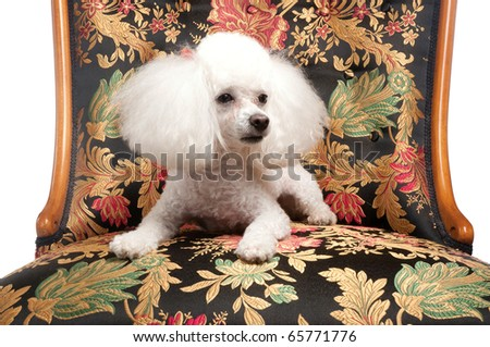 An adorable white toy poodle laying down on an elegant and colorful fabric covered chair. Shot in a studio on a seamless white backdrop.