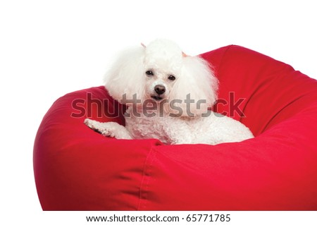 An adorable white toy poodle snuggled up in a red bean bag chair. Shot in the studio on an isolated white seamless backdrop. - stock photo