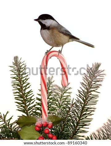 An adorable winter Black- capped Chickadee (Poecile atricapillus) on a festive candy cane. - stock photo