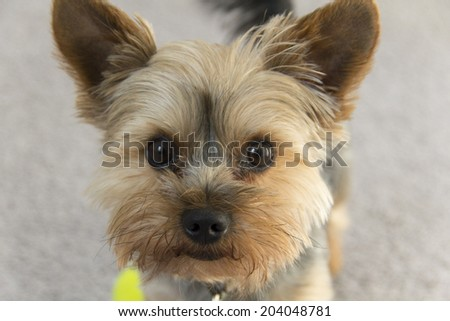 An adorable yorkie gives his owner a questioning look - stock photo