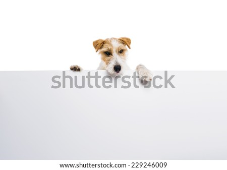 An adorable young parson russell terrier dog above banner or sign, isolated on white background - stock photo