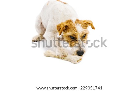 An adorable young parson russell terrier dog chowing bone isolated on white background - stock photo