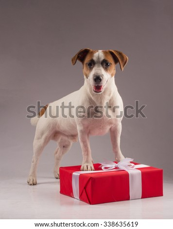 An adorable young parson russell terrier dog standing on a Christmas gift - stock photo