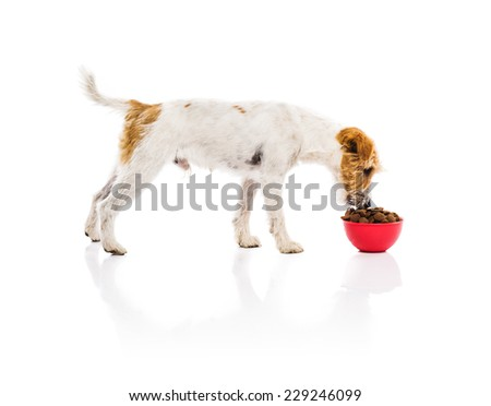 An adorable young parson russell terrier dog with red bowl full of dog food isolated on white background - stock photo