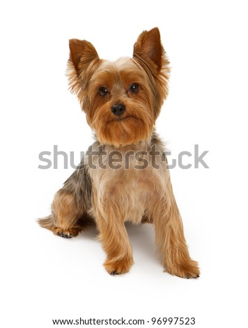 An adorable young Yorkshire Terrier dog isolated on white - stock photo