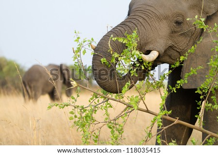 An adult african elephant cow feeding on leaves - stock photo