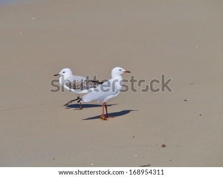 An adult and a juvenile Silver gull (larus novaehollandiae) on the  beach in Australia - stock photo